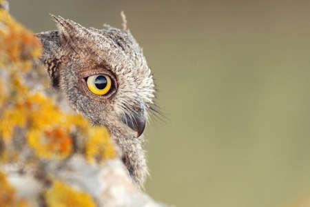 Photo pour Scops Owl looking out of nesthole. Otus scops close up. - image libre de droit