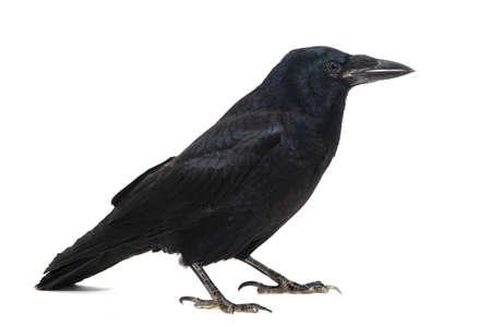 Photo pour Common Raven Corvus corax, isolated on white background. - image libre de droit