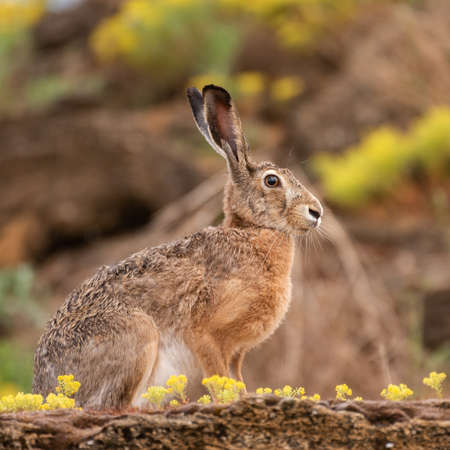 Photo pour European hare is sitting in the grass. Lepus europaeus. - image libre de droit
