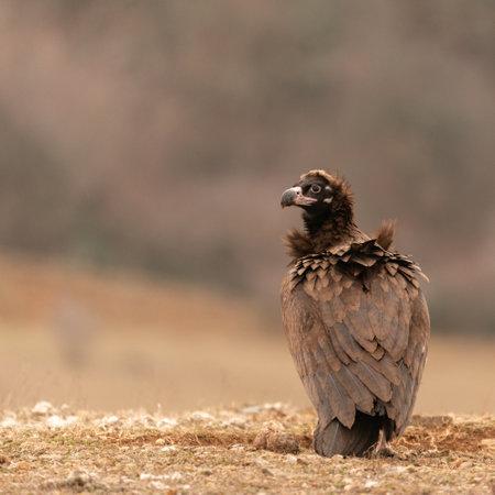 Photo pour A Cinereous vulture Aegypius monachus in wild. - image libre de droit