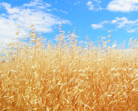 Gold of ripe oats is in harmony with heavenly blueness.