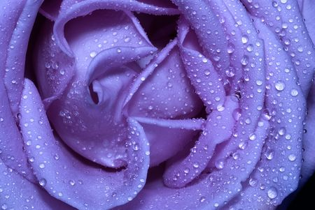 close-up macro micro blue rose with water drops