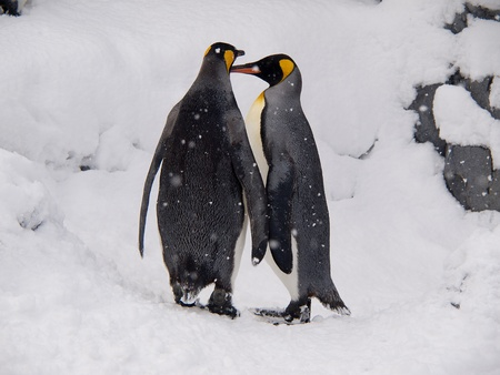 Couple of King Penguins at Asahiyama zoo, Hokkaido, Japan