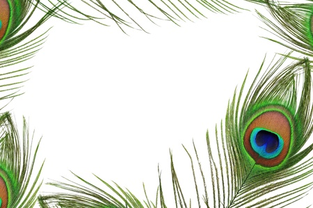 Frame of peacock feather eye on white background