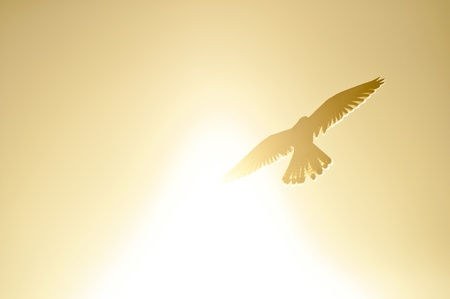A common kestrel flying through the sunlight