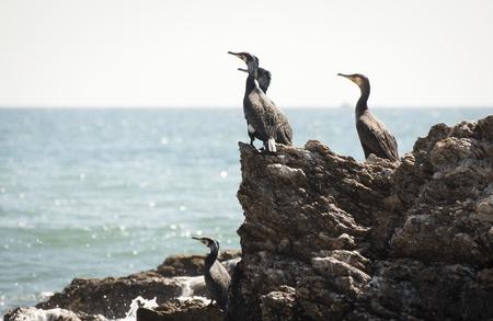 A group of Cormorants resting on a rocky shoreline in Spain.