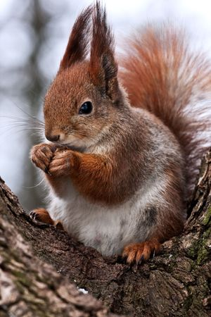 Closeup of red squirrel posing at the park