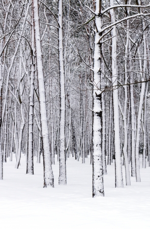 Trees in the winter forest