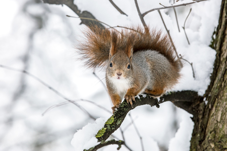 funny young red squirrel sitting on tree branch in winter park with snow