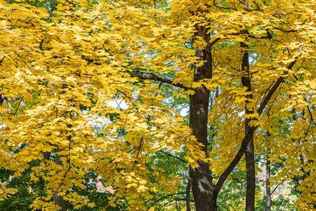 Photo pour maple tree tops with gold foliage against blue sky background. closeup view of autumnal trees - image libre de droit