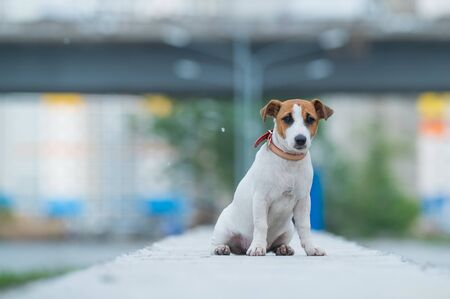 Photo pour A frightened frightened puppy sits alone on a parapet. A sad little dog got lost on a street in the city. Funny Jack Russell Terrier lonely outdoors. - image libre de droit