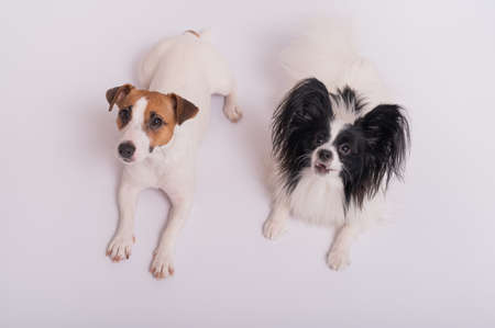 Photo pour Two little cute dogs Jack Russell Terrier and Papillon breed on a white background - image libre de droit