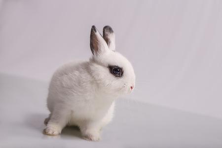 A cute white dwarf rabbit with eyeshadow form, the breed