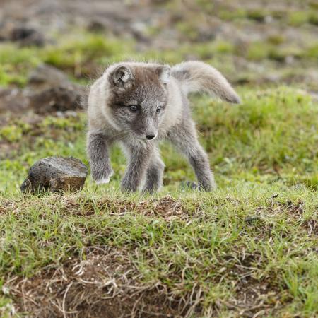 Arctic fox cub in nature