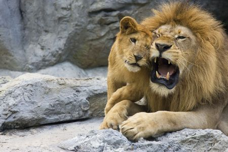 big lion father and his son playing