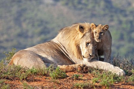 African lion father and son (Panthera leo), South Africa