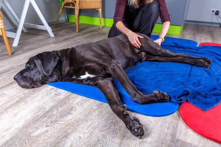 Photo for big black dog lying on the floor and gets a massage on its thight - Royalty Free Image