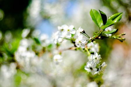 blooming apple tree, spring, garden