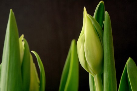Tulips with black background;  photographed near Frankfurt, Hessen, Germany