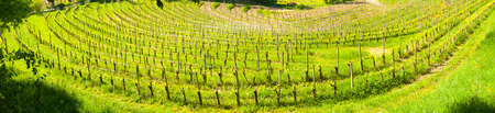 Wide panoramic view of a curving vineyard creating a sort of amphitheater near Buttrio, Udine, Friuli, Italy