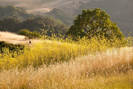 A black bird is perched in a mustard field in oak grassland in summer, in Calero Park in California, near San Jose