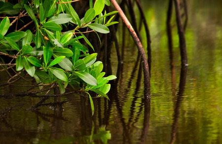 Red mangrove tree and its roots dip into calm brackish water in the Florida Evergaldes