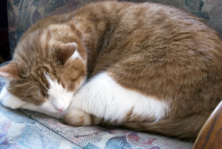 Domestic cat napping on a chair