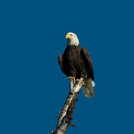 eagle proudly perched overlooking lake for fish