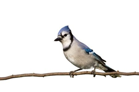 bluejay sitting on brach with head slightly cocked on white background