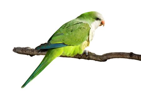 profile of a monk parrot at rest on a branch; white background