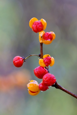 oriental bittersweet explodes open at autumn. colorful yellow and red berries covered in morning dew on a out of focus background of greens and browns of the forest.
