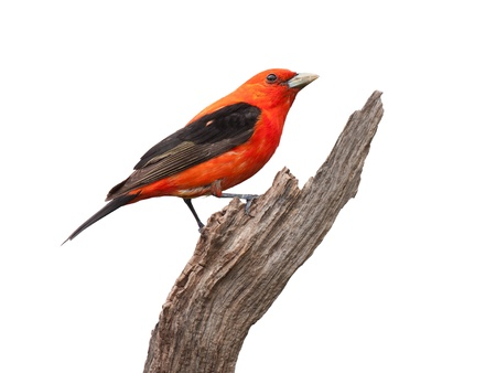 A scarlet tanager proudly perched on a dead branch  The tanager's brilliant red plumage contrasts against its midnight black wings  Songbird