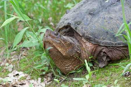 Photo for A snapping turtle raises its head as it barrels over blades of grass in a swampy marsh. - Royalty Free Image