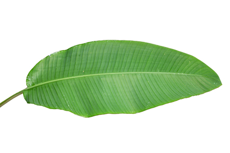 Banana leaf on a white background.