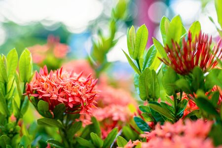Photo pour Ixora flower blossom in a garden. Red spike flower. Natural and flower background. - image libre de droit
