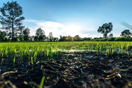Photo pour Beautiful green field of rice plant with water and blue sky in the moring. Argiculture concept. - image libre de droit
