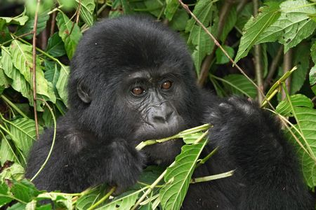 Eastern mountain gorilla  in rainforest of Uganda