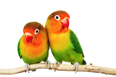 Pair of lovebirds agapornis-fischeri isolated on white\r