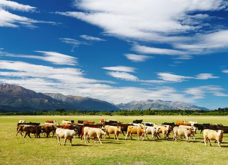 Rural landscape with cows herd, New Zealand