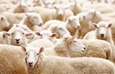 Livestock farm, Herd of sheep close up