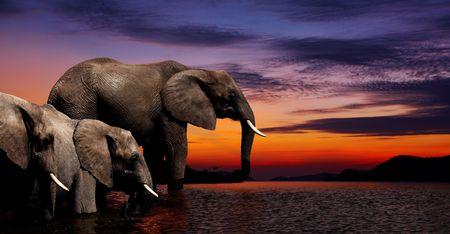 Photo pour Elephants at watering in african savanna - image libre de droit