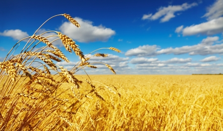 Photo pour Ripe wheat ears over wheat field - image libre de droit