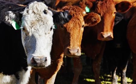 Livestock farm, herd of cows