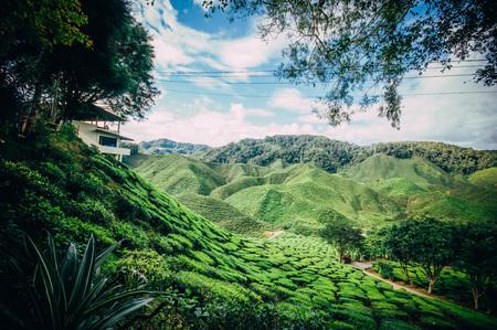 Tea Plantation at CAMERON HIGHLAND MALAYSIA