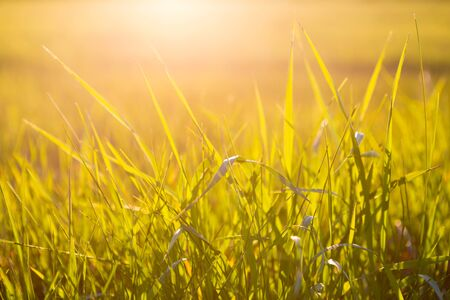 Photo pour Green grass close up at sunrise or sunset with sun rays - image libre de droit