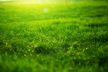 Foto de Spring fresh bright green grass at sunset on a warm sunny day. Background of a green grass. Green grass texture - Imagen libre de derechos