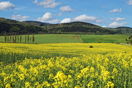 Yellow flowering rapeseed field in countryside. Green field, meadow and forested mountains in the background.