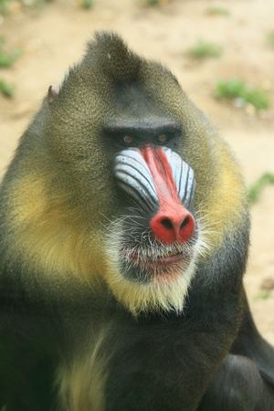 Portrait of an Africa mandrill with a big  nose