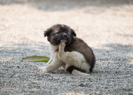 Photo pour Puppy dog chubby scratching itch - image libre de droit
