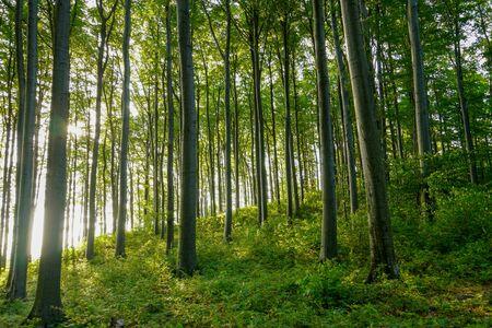 Photo pour Green mystic landscape with beech trees in a forest in summer, sunbeams pour through trees in forest - image libre de droit